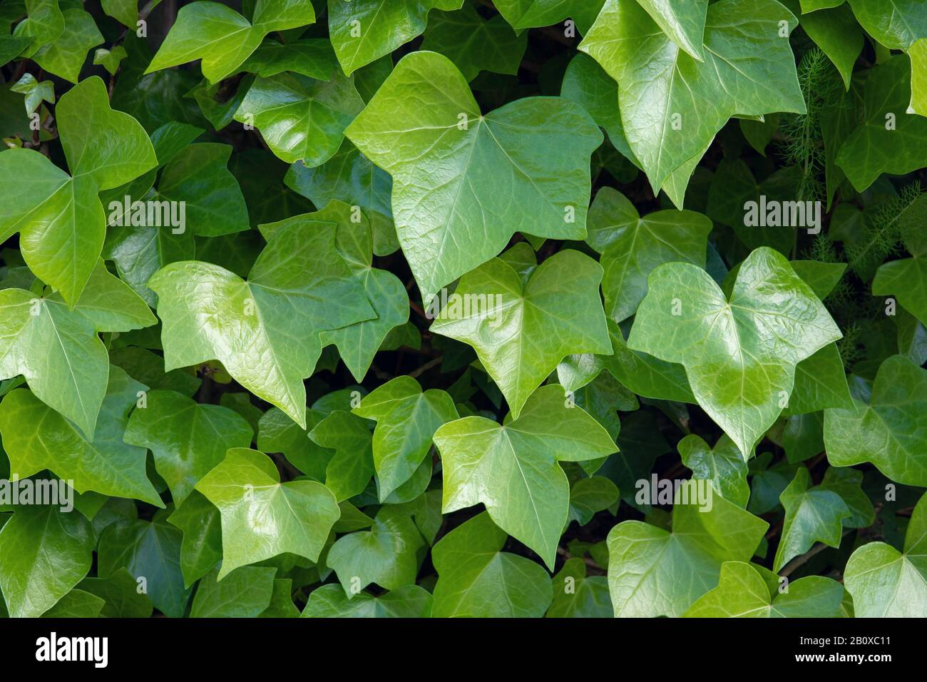 Bright green ivy background.Hedera helix Stock Photo