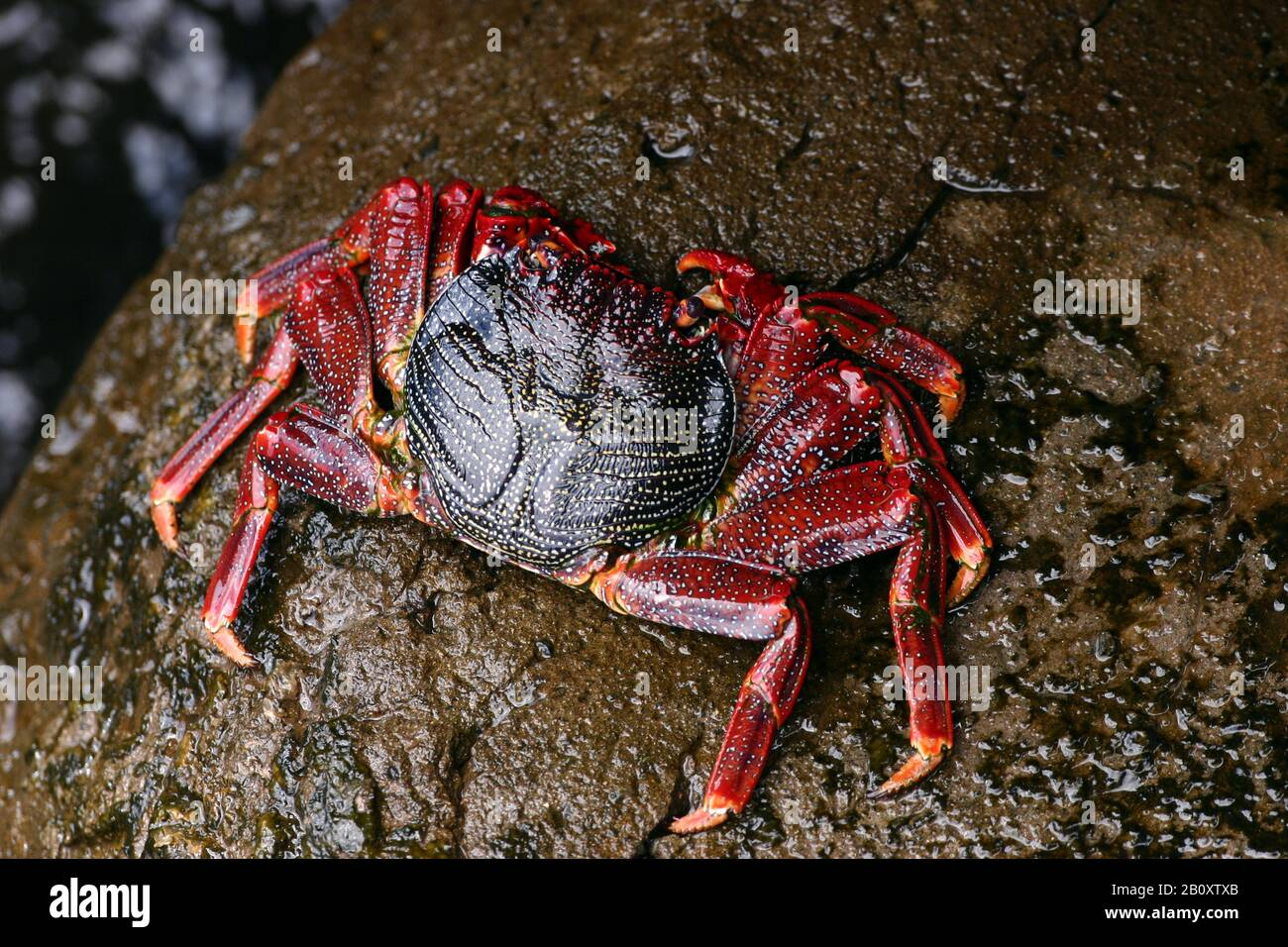 Red rock crab (Grapsus adscensionis), top view, Madeira Stock Photo
