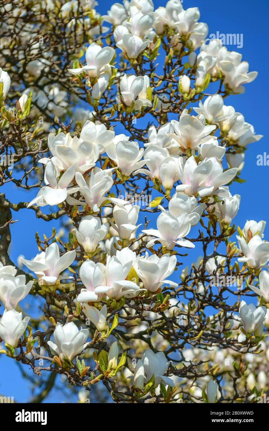 saucer magnolia (Magnolia x soulangiana 'Amabilis', Magnolia x soulangiana Amabilis, Magnolia soulangiana, Magnolia x soulangeana, Magnolia soulangeana), cultivar Amabilis, Germany, Baden-Wuerttemberg Stock Photo