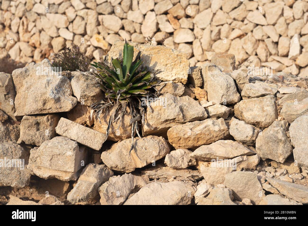 Plant Growing On The Rocks Succulent Plant In A Desert Setting Stock Photo Alamy