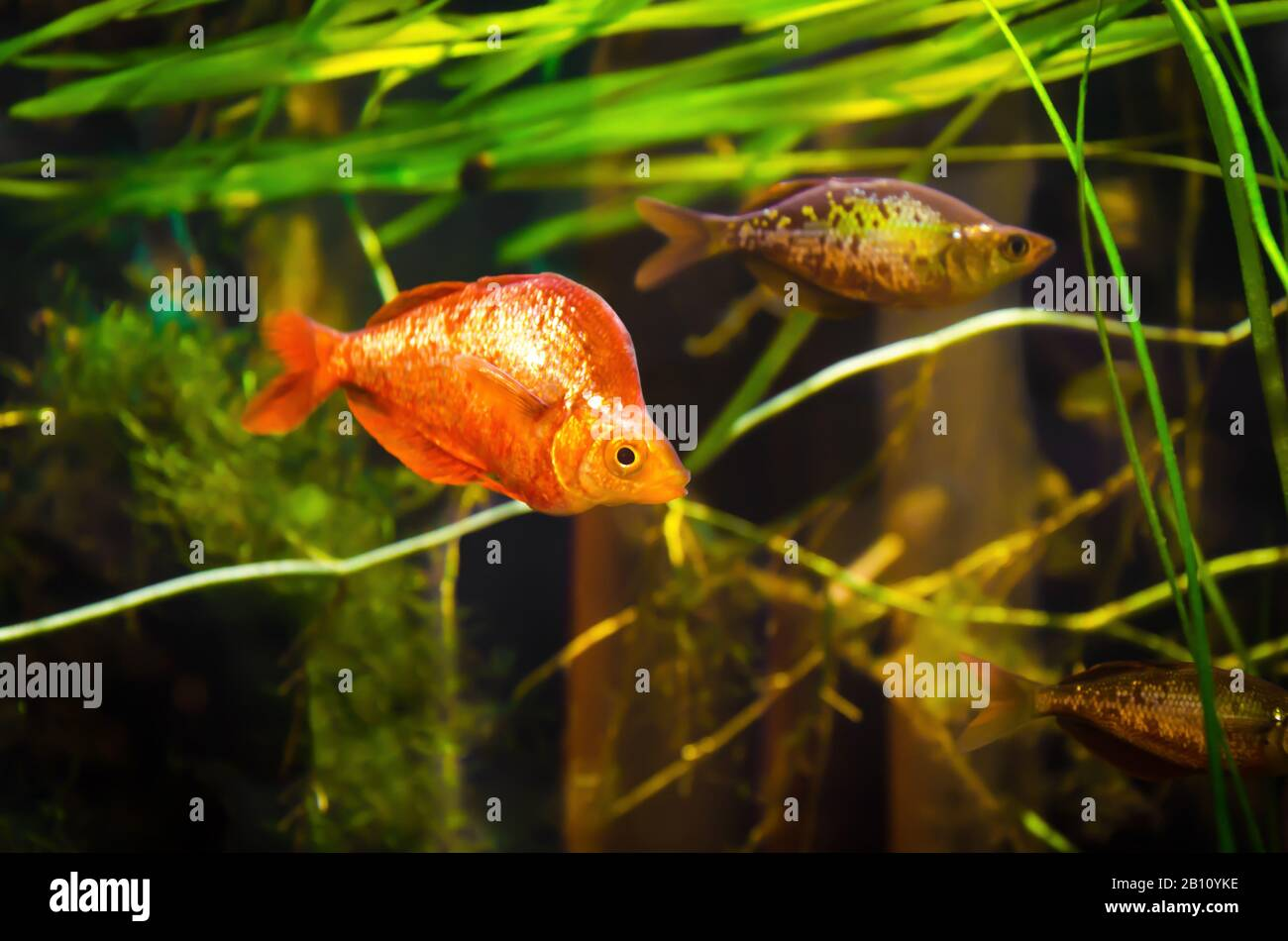 Red Rainbowfish High Resolution Stock Photography And Images Alamy