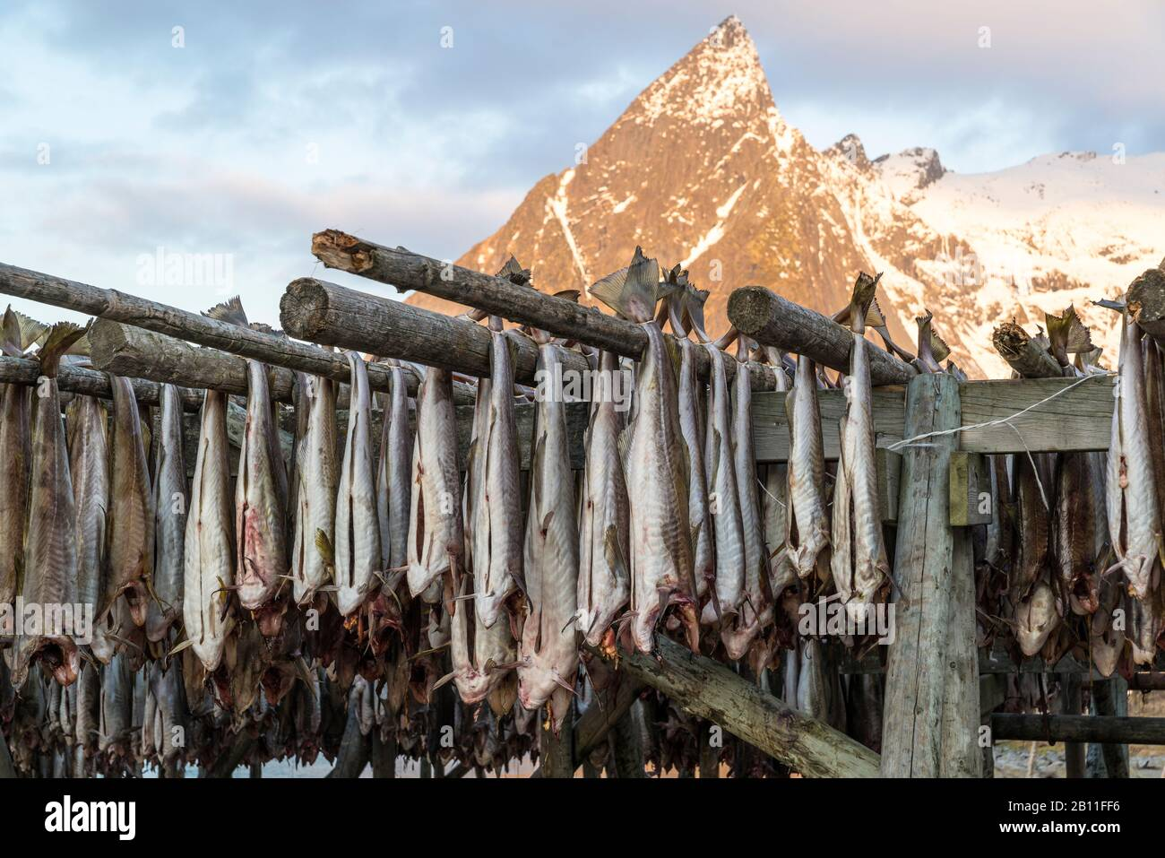 Cod hangs to dry on wooden racks in front of the mountain Olstinden, Moskenes, Lofoten, Norway Stock Photo