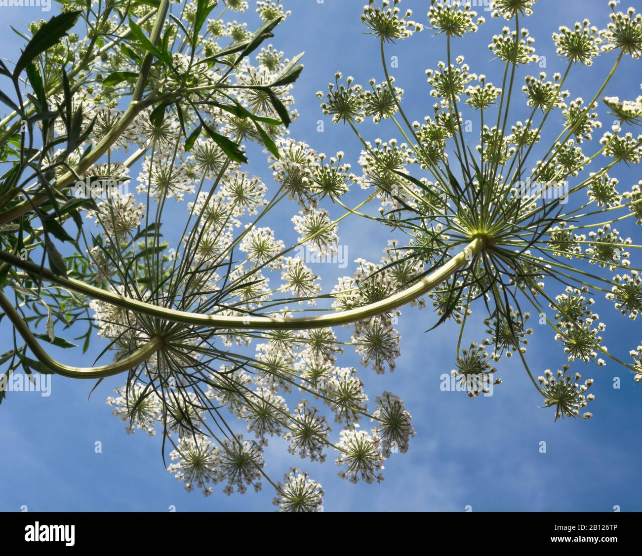 Ammi majus, Apiaceae, Bishop's Weed, false Queen Anne's lace, Grown from seed in UK gardens annually for its pretty white lace-like flower clusters. Stock Photo