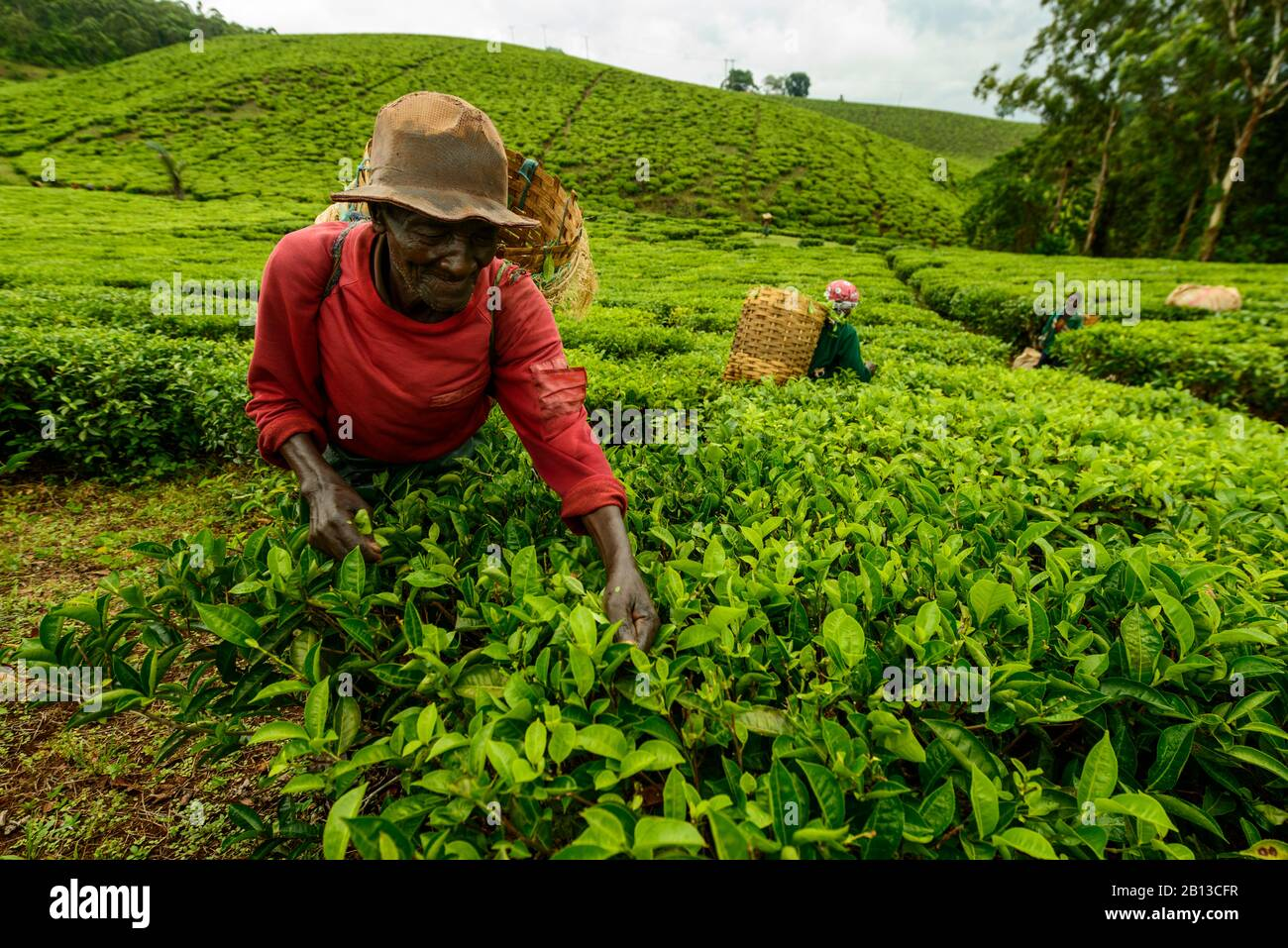 Tea Plant High Resolution Stock Photography and Images - Alamy