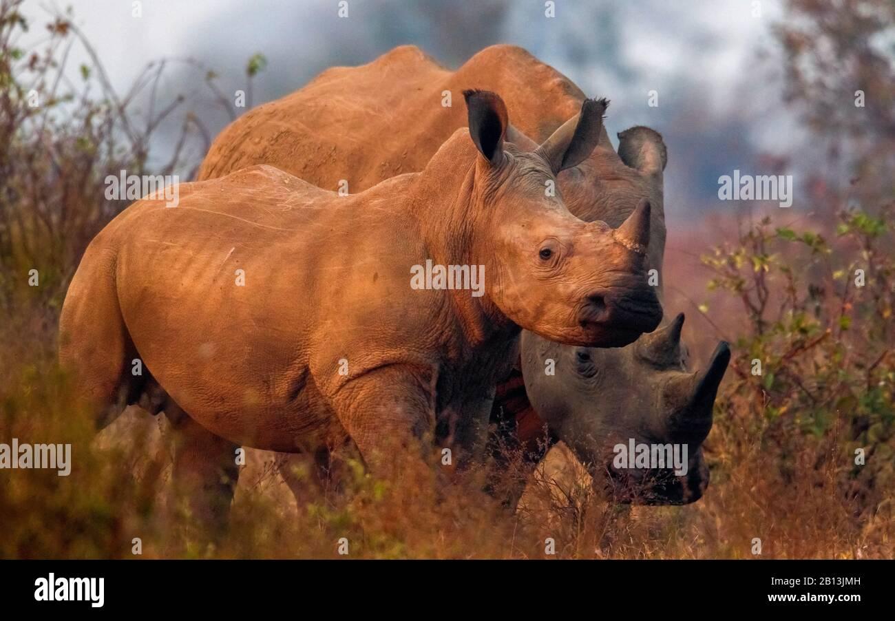 white rhinoceros, square-lipped rhinoceros, grass rhinoceros (Ceratotherium simum simum), mother with rhino calf in the savannah, South Africa, Mpumalanga, Kruger National Park Stock Photo