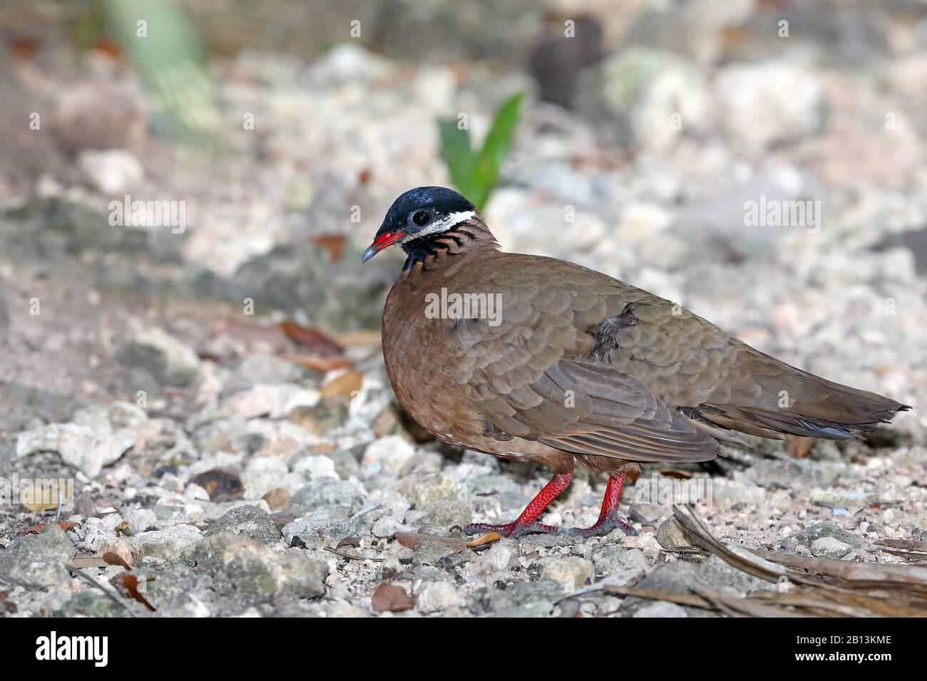 blue-headed quail dove (Starnoenas cyanocephala), on the feed on the ground, Cuba, Zapata  National Park Stock Photo