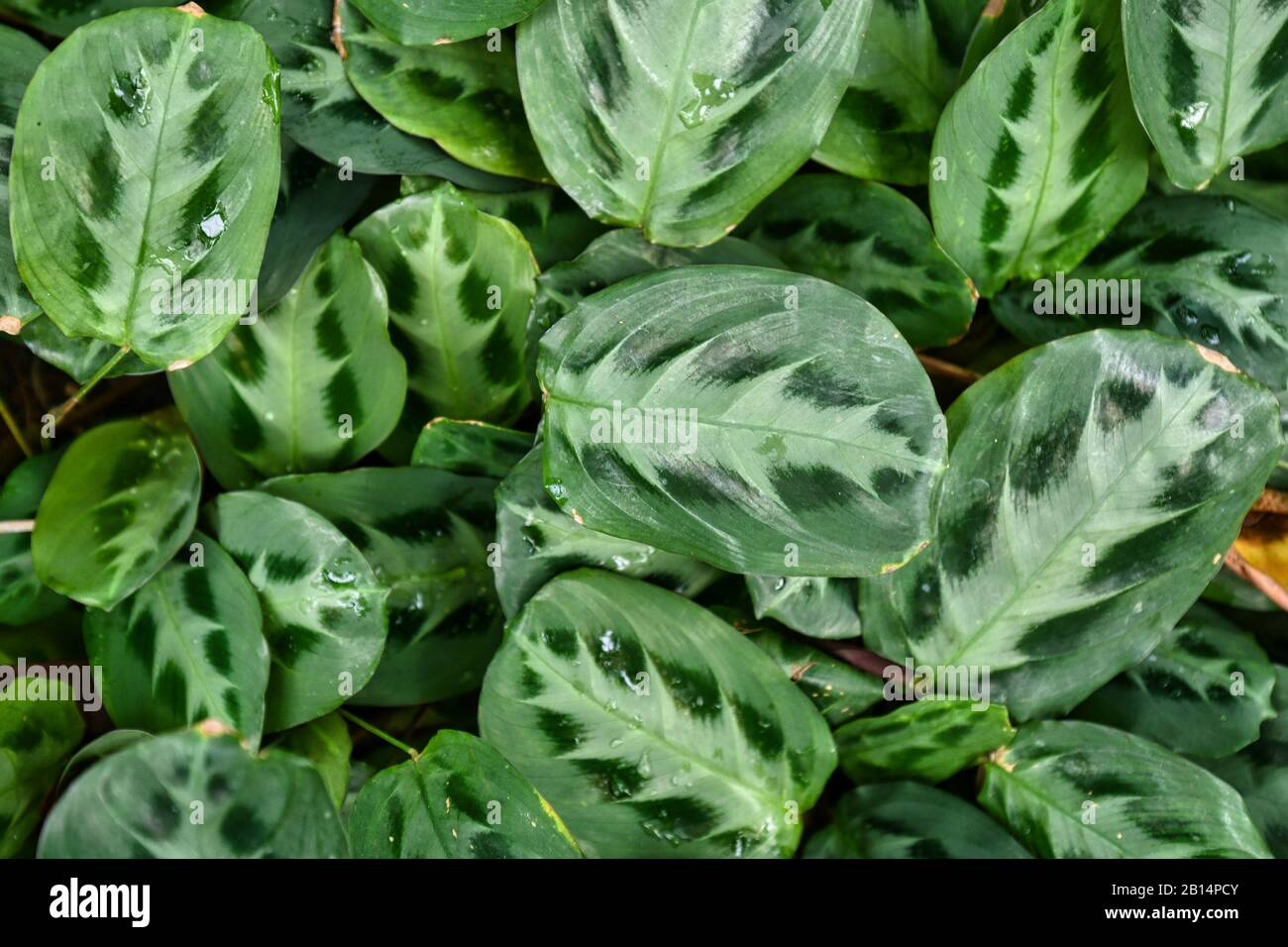 Tropical Maranta Cristata Bicolor House Plants With Leaves With Unique Dark And Light Stripe And Dot Pattern Covering Ground Stock Photo Alamy