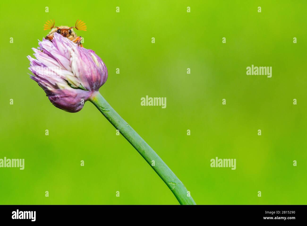 Common cockchafer, Maybug, Maybeetle (Melolontha melolontha), on Allium, Netherlands, Frisia, Delleboersterheide Stock Photo