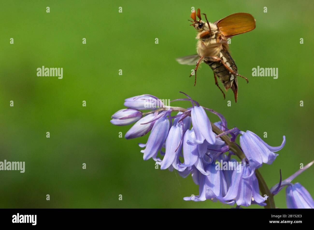 Common cockchafer, Maybug, Maybeetle (Melolontha melolontha), landing on Bluebell, Netherlands Stock Photo