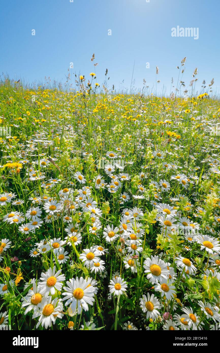 oxeye daisy, ox-eye daisy, white-weed, white daisy, dog daisy, marguerite (Chrysanthemum leucanthemum, Leucanthemum vulgare), flower meadow with rattle, Switzerland, Zuercher Oberland Stock Photo