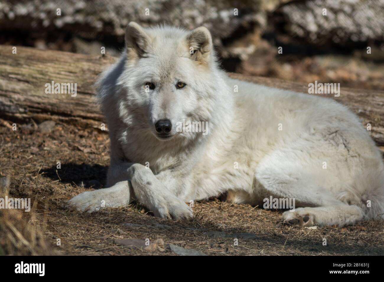Arctic Wolf (Canis lupus arctos) posing in the woods early spring Stock Photo