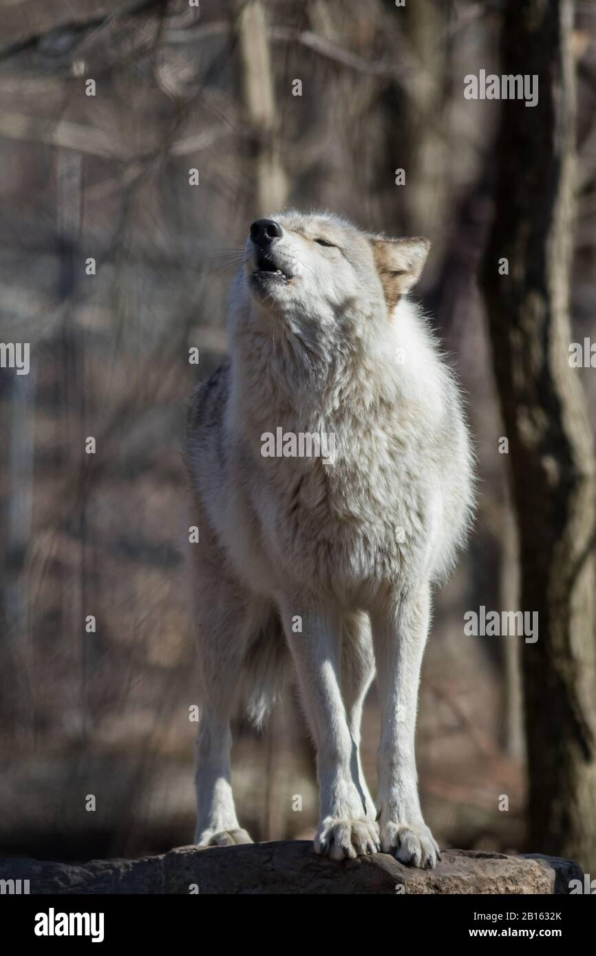 Arctic Wolf (Canis lupus arctos) standing on rock in the woods early spring Stock Photo