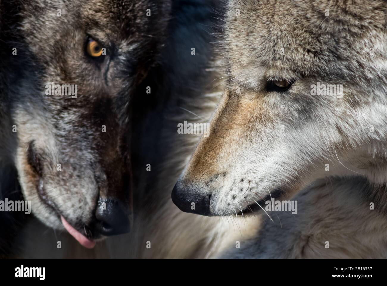 Arctic Wolf (Canis lupus arctos) pair closeup in the woods early spring Stock Photo
