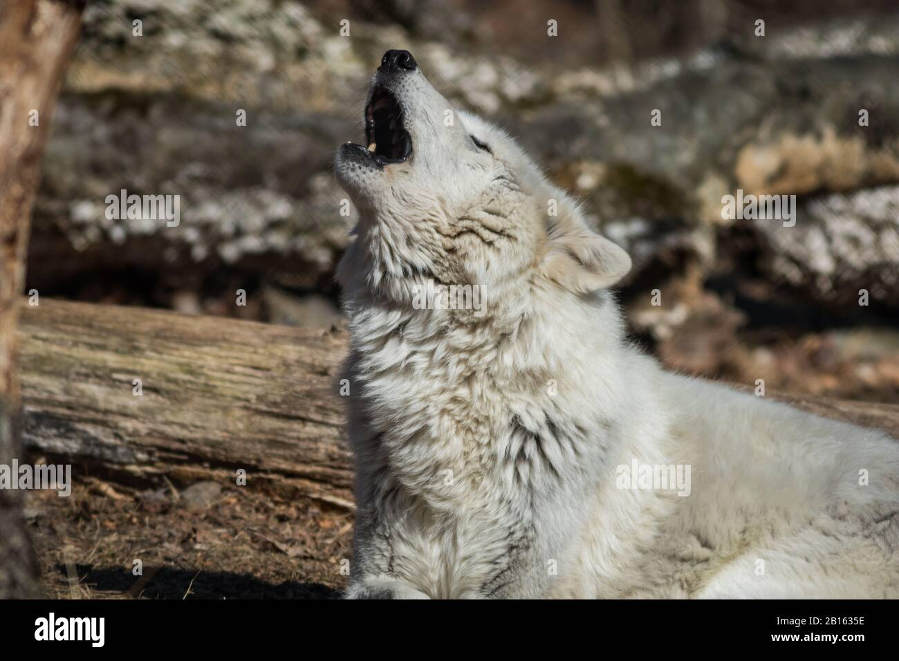 Arctic Wolf (Canis lupus arctos) closeup in the woods early spring Stock Photo