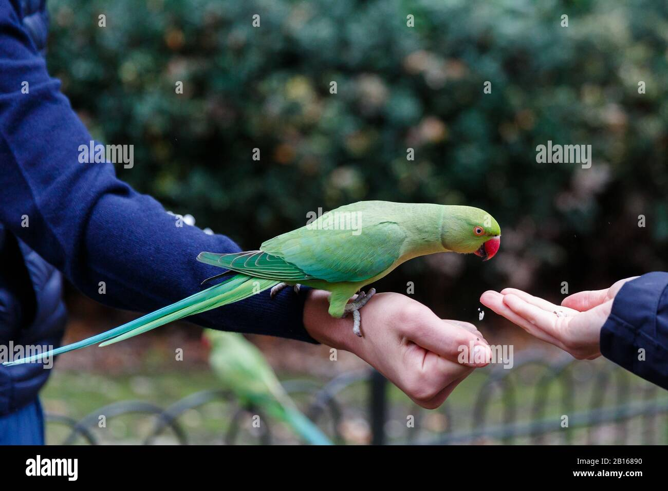 Female Rose ringnecked Parakeet feeding from the hand of tourists in Hyde Park, London. Stock Photo