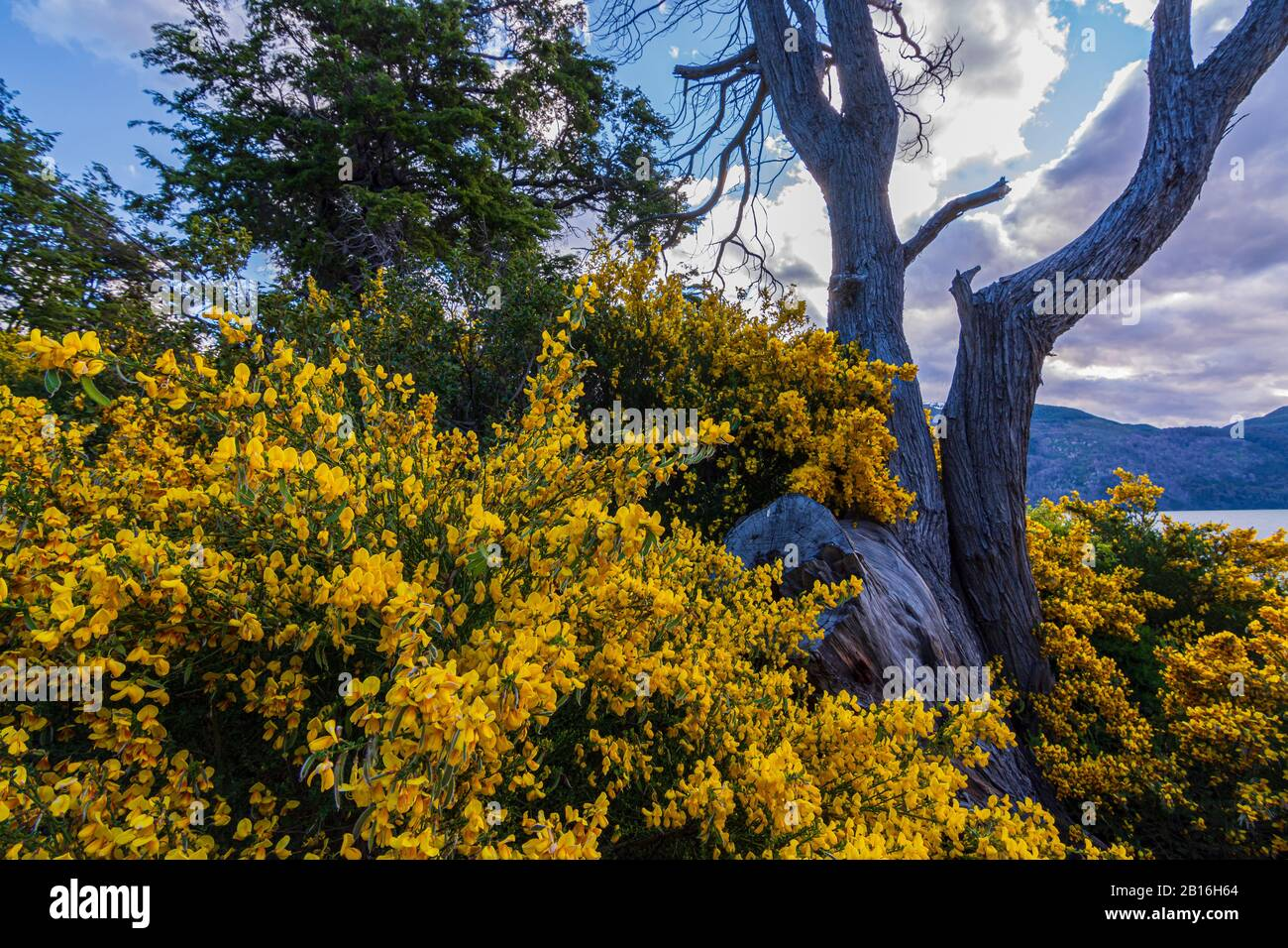 Bloomed Colorful Yellow Bushes During Spring Time In Los Alerces