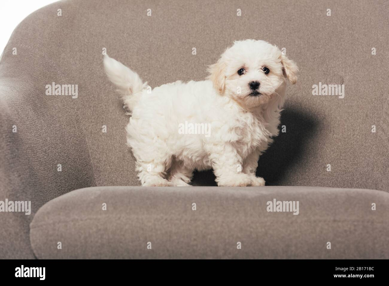 Cute And White Havanese Puppy Standing On Armchair Stock Photo Alamy