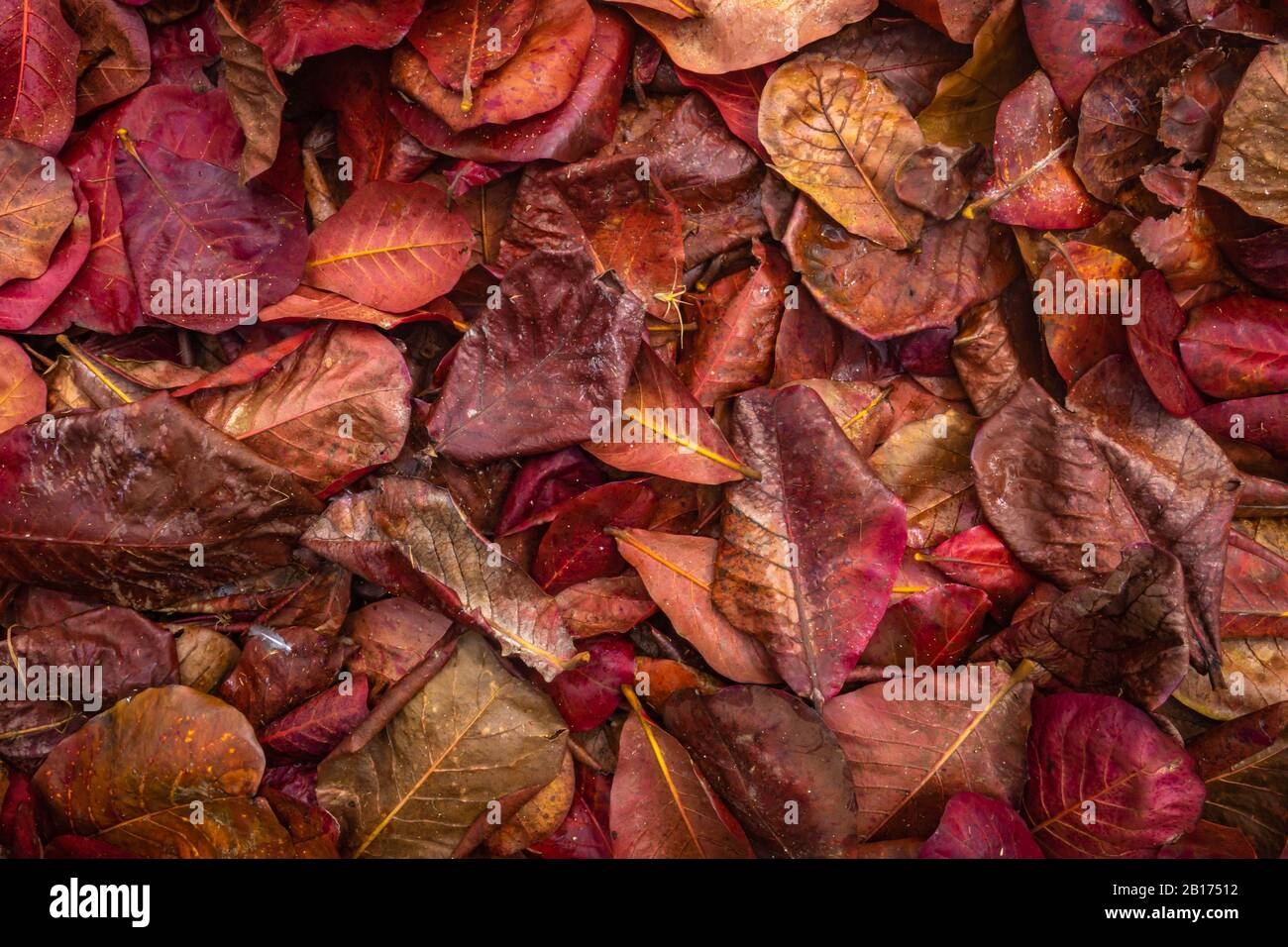 Abstract Background Texture Of Red Leaves On A Jungle Floor Stock Photo