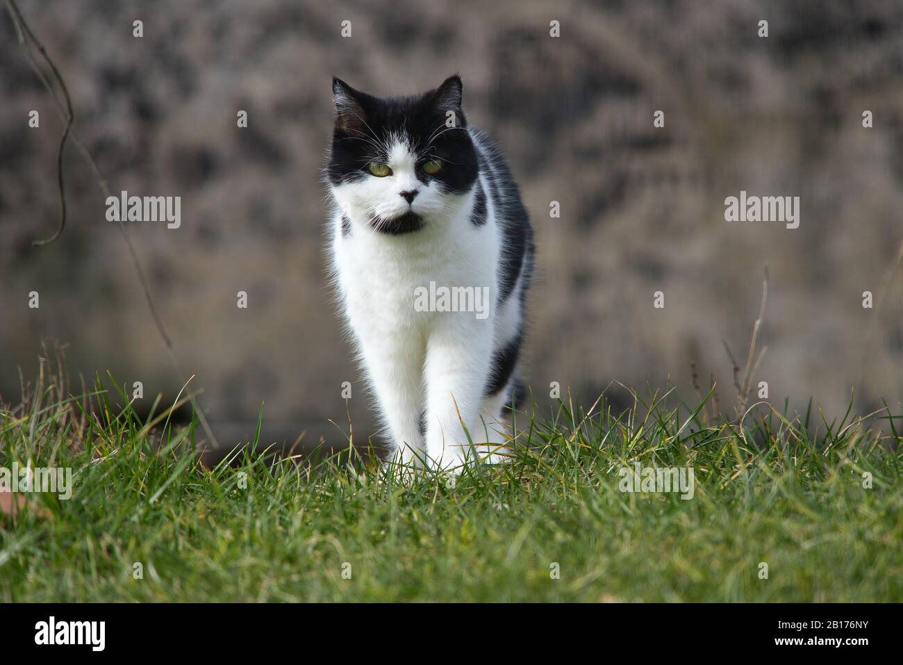 Black and white Persian cat with black nose and green eyes Stock Photo