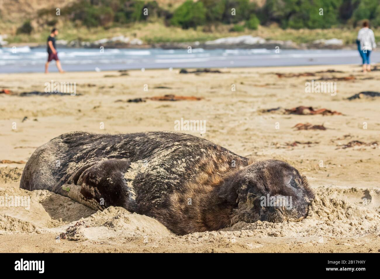 New Zealand, Oceania, South Island, Otago, Southeast, Catlins Coast, New Zealand Sea Lion (Phocarctos hookeri) lying in sand in Purakaunui Bay Stock Photo