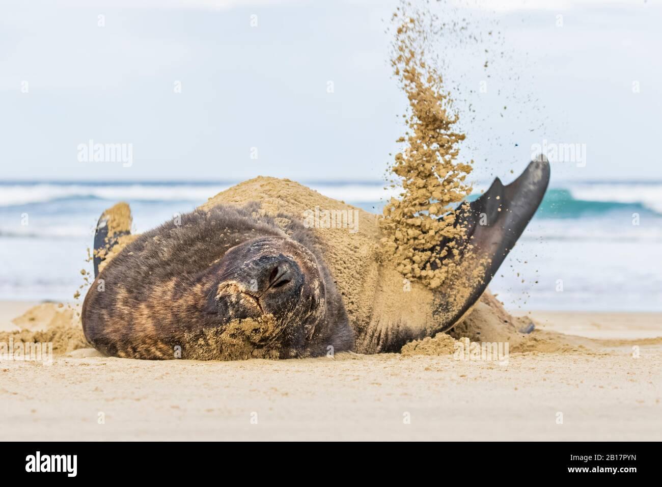 New Zealand, Oceania, South Island, Otago, Southeast, Catlins Coast, New Zealand Sea Lion (Phocarctos hookeri) tossing sand in Purakaunui Bay Stock Photo