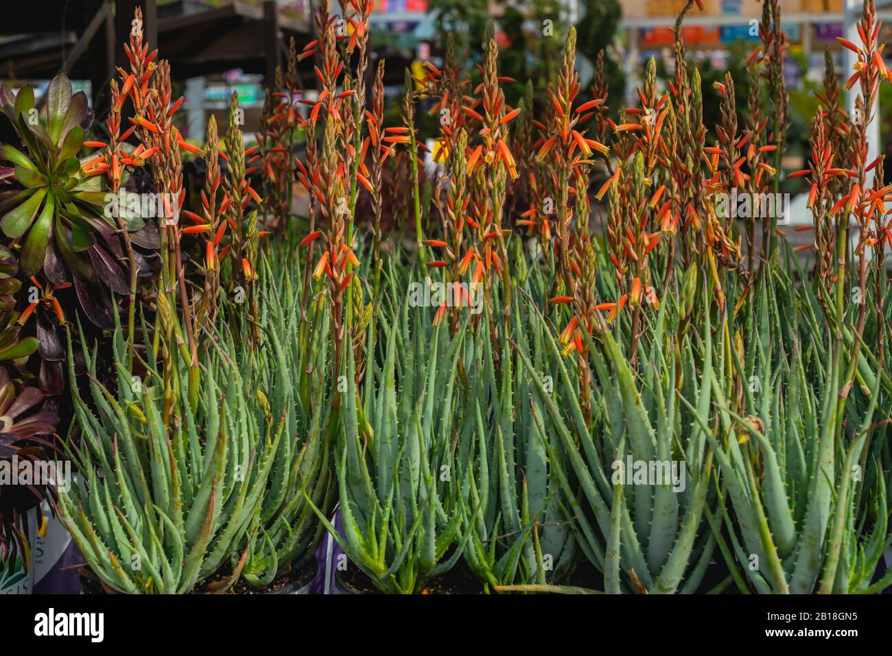 Floral Arrangements At Local Floral Market In California Aloe Vera Plant In Bloom Close Up Stock Photo Alamy