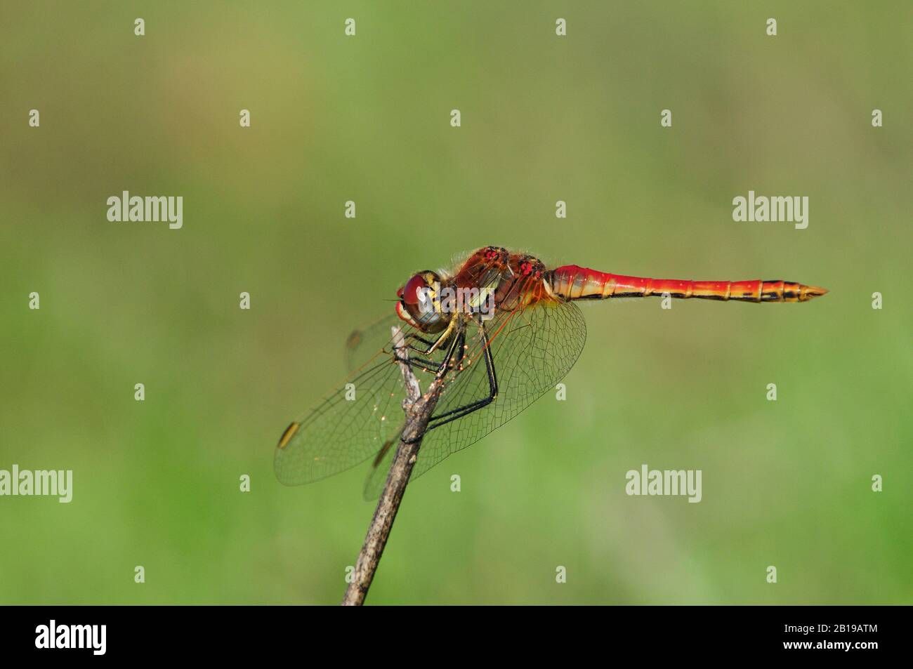 Broad Scarlet, Common Scarlet-darter, Scarlet Darter, Scarlet Dragonfly (Crocothemis erythraea, Croccothemis erythraea), male sits on a twig, Spain, Andalusia, Donana National Park Stock Photo