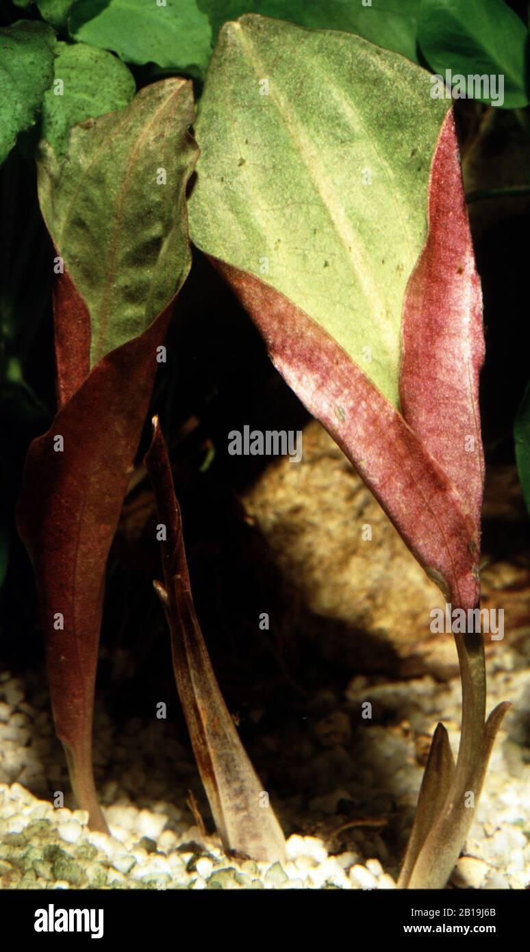 Live Aquarium Plants /… Cryptocoryne Blassii