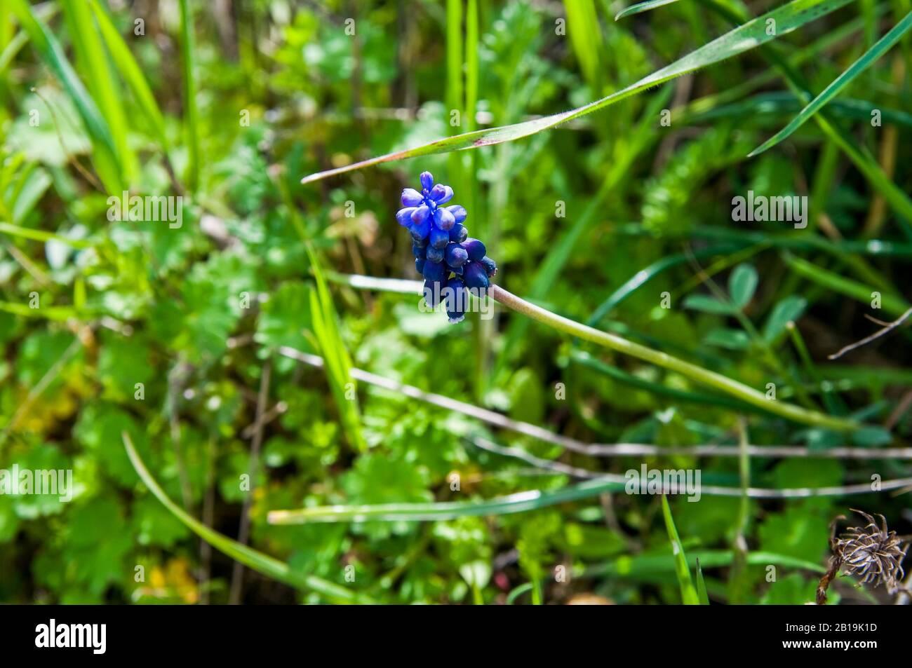 Wild hyacinth. Spanish bluebells Hyacinthoides hispanica. Endymion hispanicus or Scilla hispanica. Hyacinthoides non-scripta. Grape hyacinth. Stock Photo