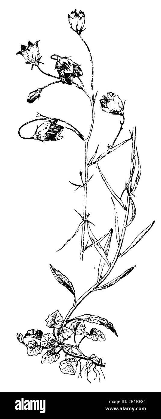 Campanula rotundifolia Rundblättrige Glockenblume White Gem