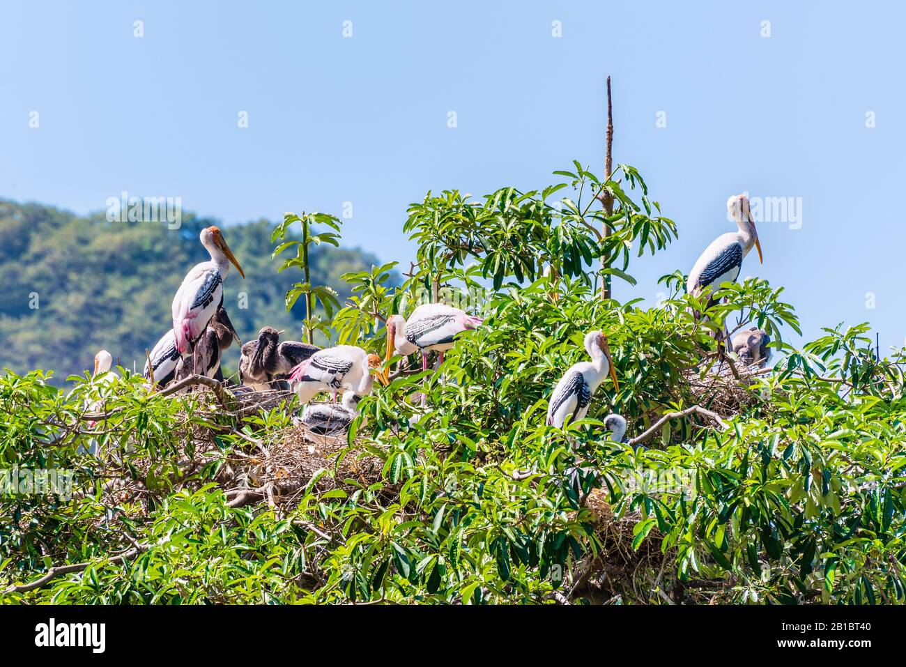 Group of Painted Stork or Mycteria Leucocephala, Closeup flock of big birds build a nest on a tall green tree and has a baby, Beautiful wildlife in na Stock Photo