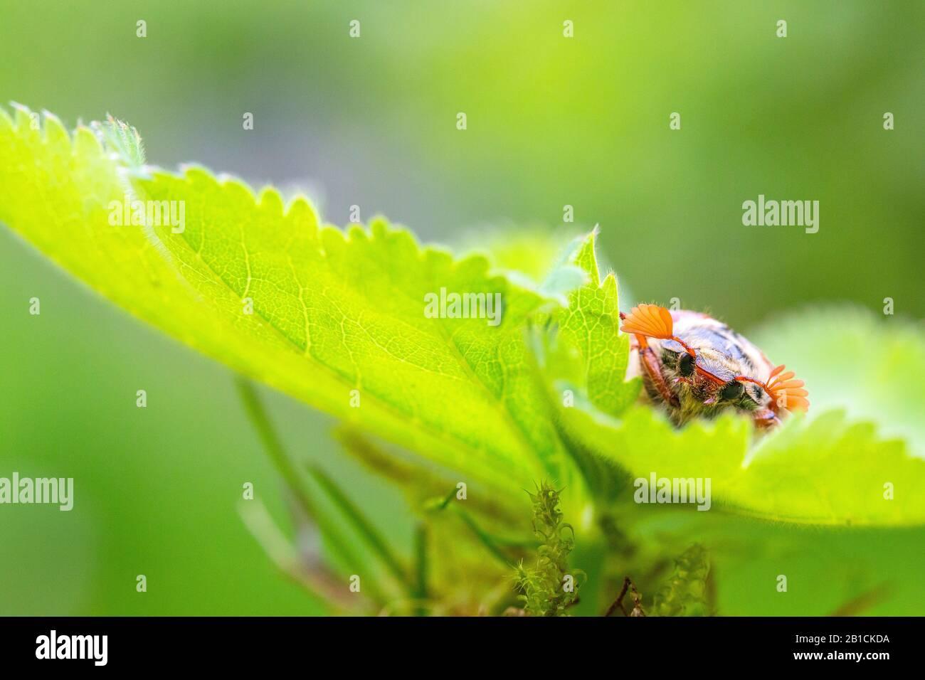 Common cockchafer, Maybug, Maybeetle (Melolontha melolontha), sitting on a leaf, Netherlands, Frisia, Delleboersterheide Stock Photo