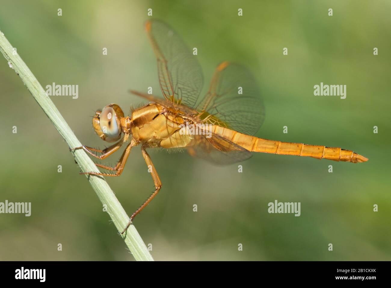 Broad Scarlet, Common Scarlet-darter, Scarlet Darter, Scarlet Dragonfly (Crocothemis erythraea, Croccothemis erythraea), Immature male, Spain, Huelva Stock Photo