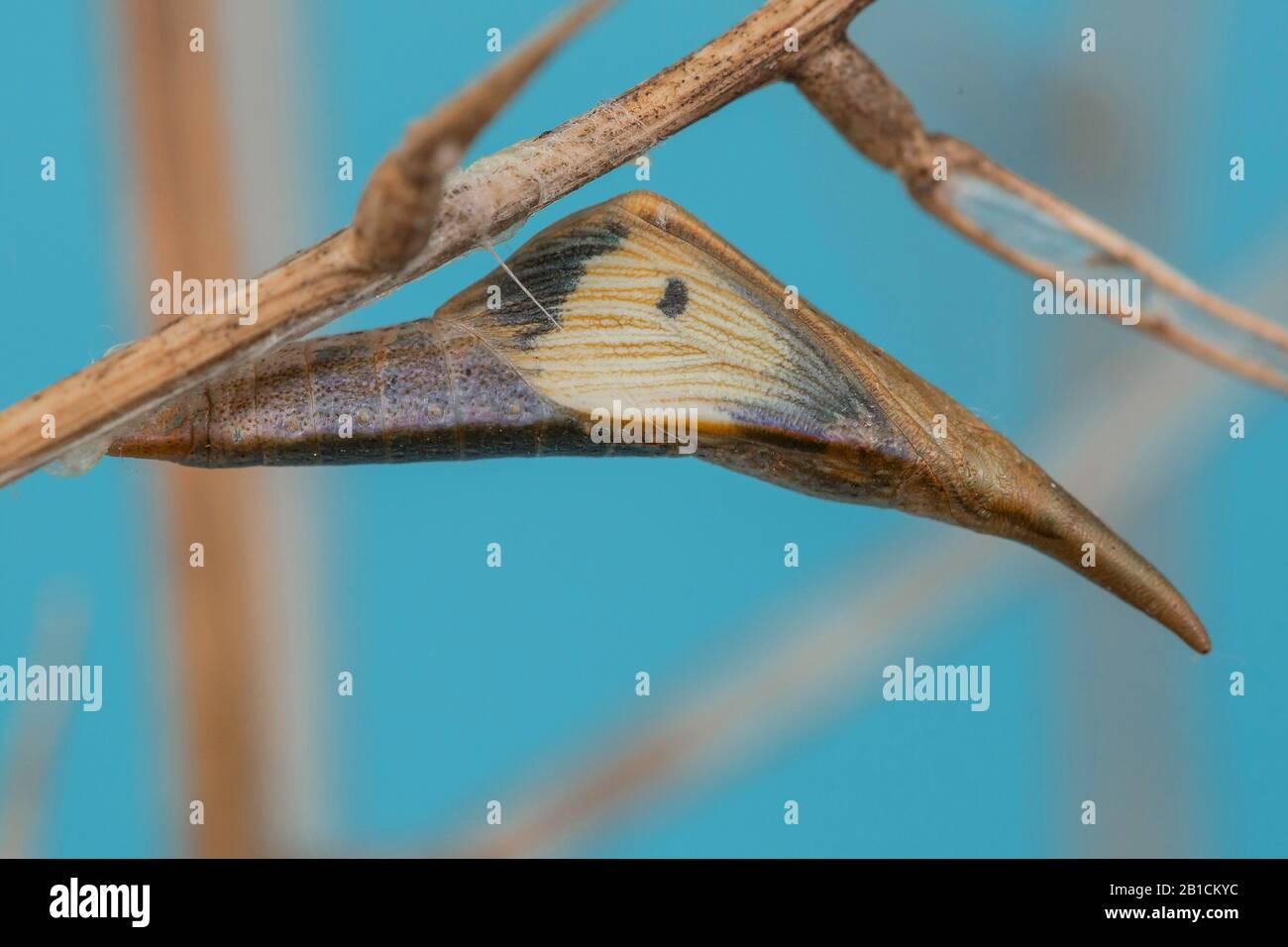 Orange-tip (Anthocharis cardamines), pupa at Alliaria petiolata, wingmaculation of a female visible, Germany, Bavaria, Niederbayern, Lower Bavaria Stock Photo