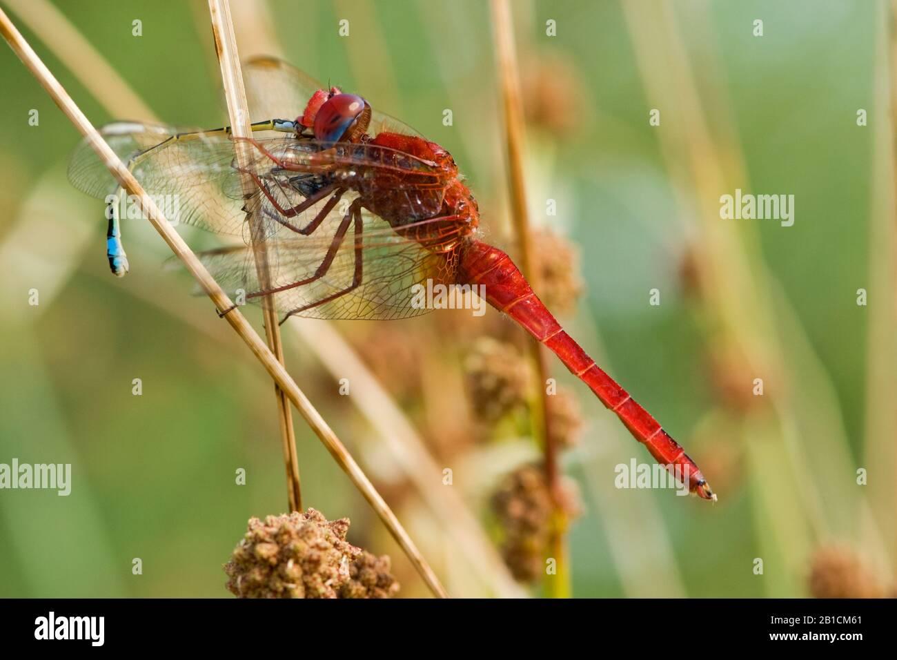 Broad Scarlet, Common Scarlet-darter, Scarlet Darter, Scarlet Dragonfly (Crocothemis erythraea, Croccothemis erythraea), male, Spain, Huelva Stock Photo