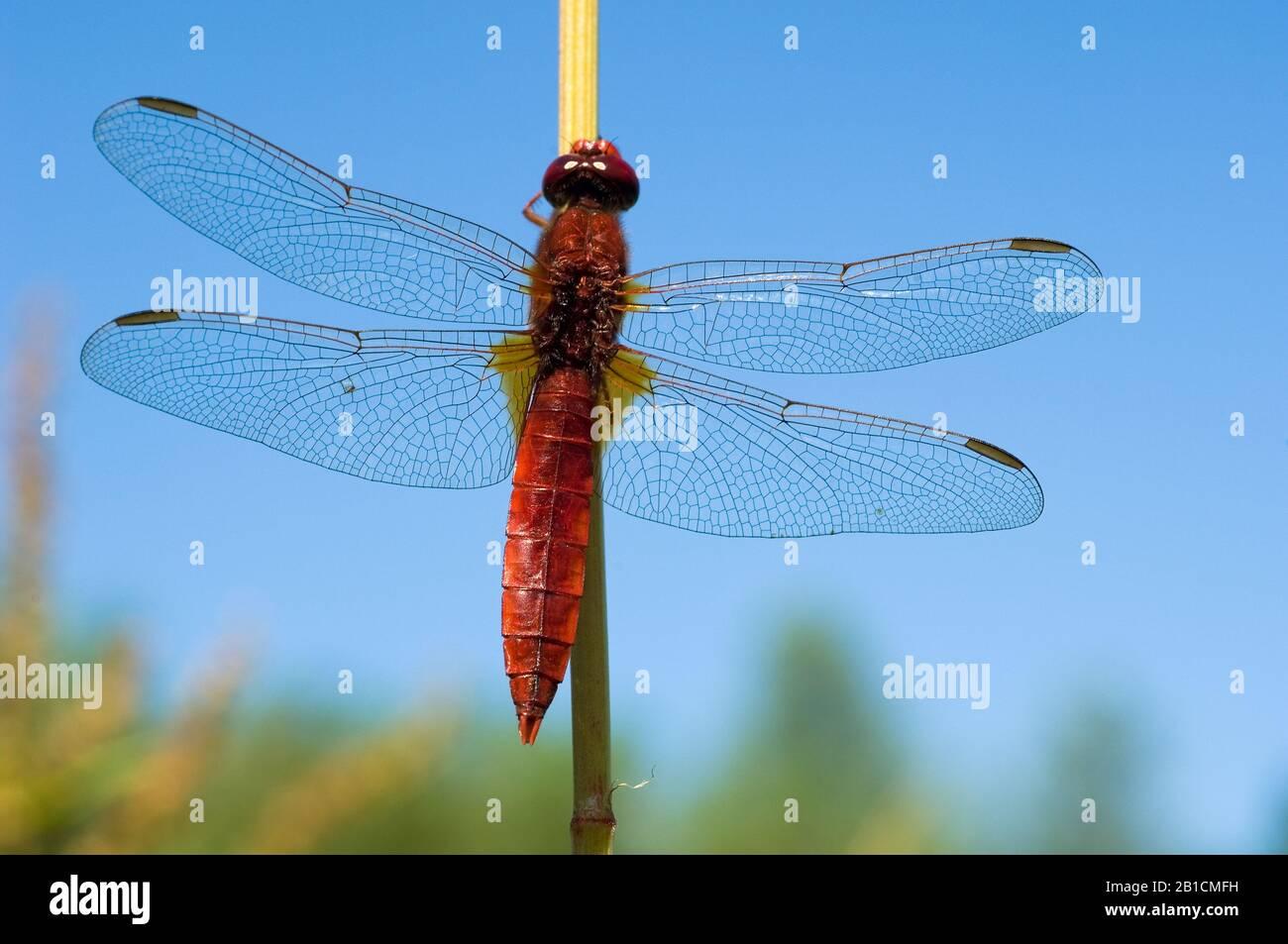 Broad Scarlet, Common Scarlet-darter, Scarlet Darter, Scarlet Dragonfly (Crocothemis erythraea, Croccothemis erythraea), male, Netherlands, Limburg, Stock Photo