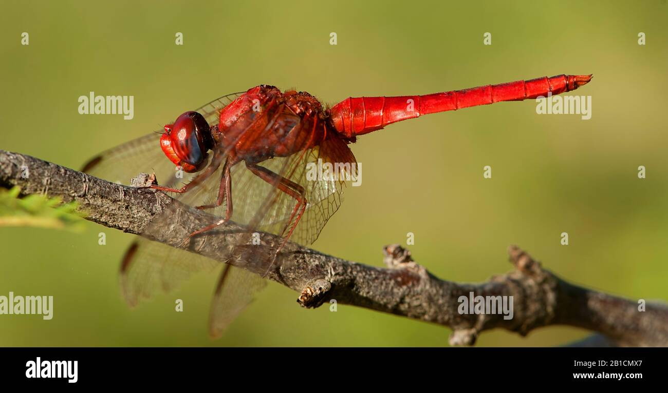 Broad Scarlet, Common Scarlet-darter, Scarlet Darter, Scarlet Dragonfly (Crocothemis erythraea, Croccothemis erythraea), male, South Africa, Kwazoeloe-Natal, Bonamanzi Game Park Stock Photo
