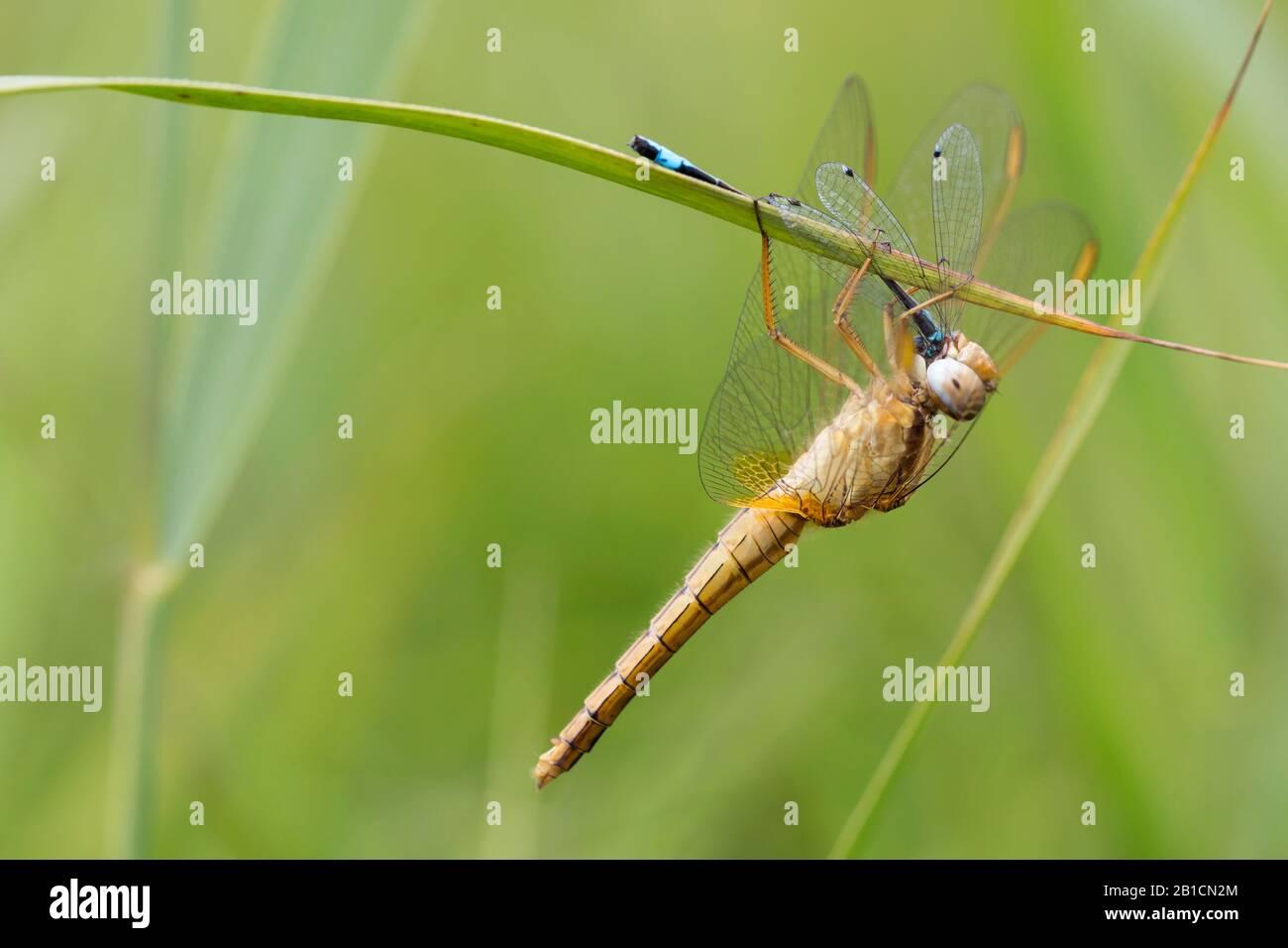 Broad Scarlet, Common Scarlet-darter, Scarlet Darter, Scarlet Dragonfly (Crocothemis erythraea, Croccothemis erythraea), female with prey, Netherlands, Overijssel, Weerribben-Wieden National Park Stock Photo