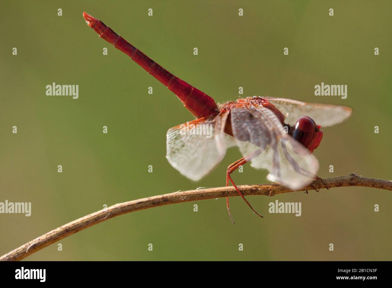Broad Scarlet, Common Scarlet-darter, Scarlet Darter, Scarlet Dragonfly (Crocothemis erythraea, Croccothemis erythraea), male, Spain, Huelva Stock Photo