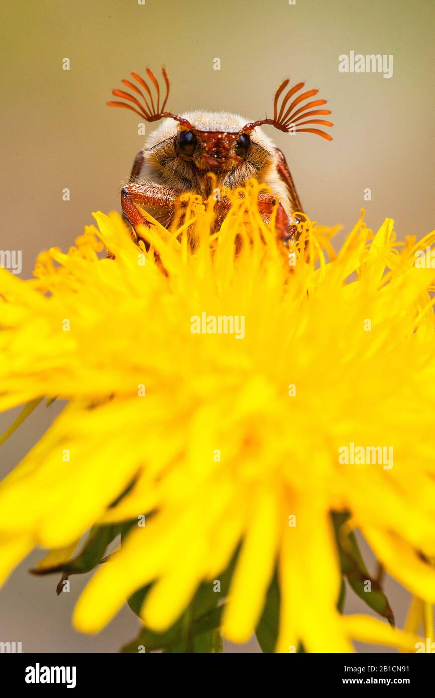 Common cockchafer, Maybug, Maybeetle (Melolontha melolontha), sitting on dandelion, Netherlands, Frisia, Delleboersterheide Stock Photo