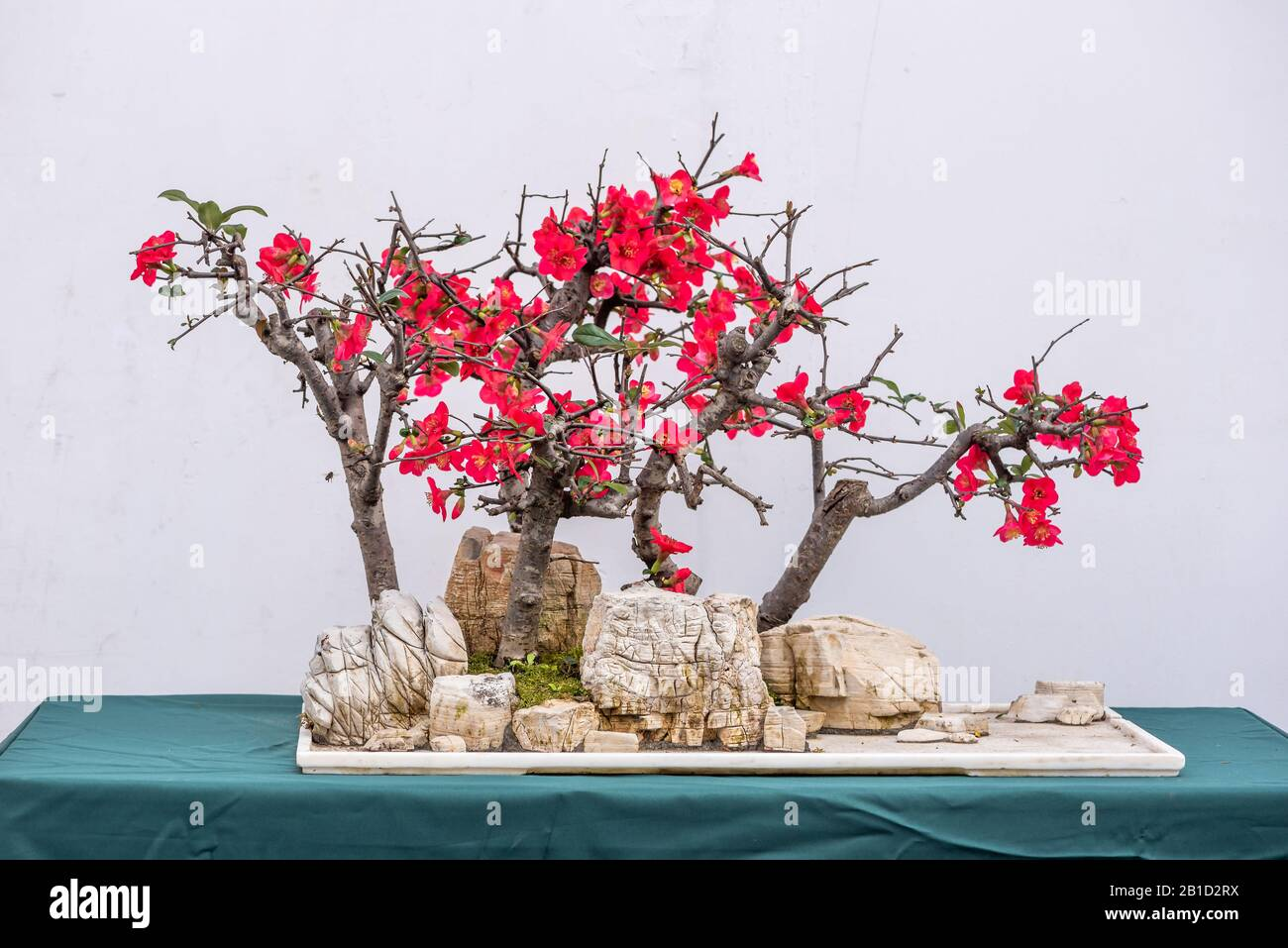 Bonsai Tree On A Rock With Pink Flowers Against White Wall In China Stock Photo Alamy