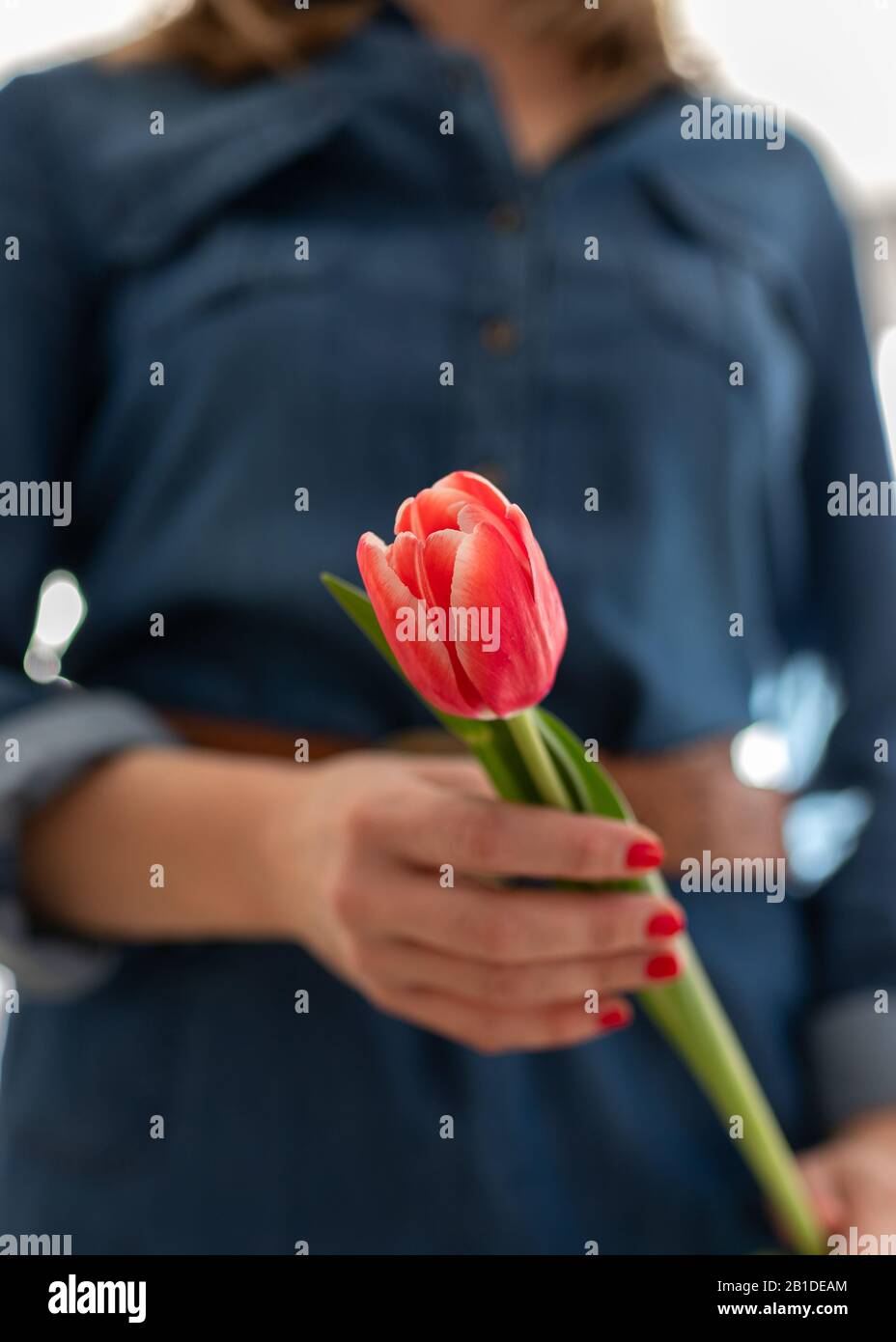 Closeup view of a red vertical tulip hold by a woman painted fingernails hand wearing a denim dress. Stock Photo