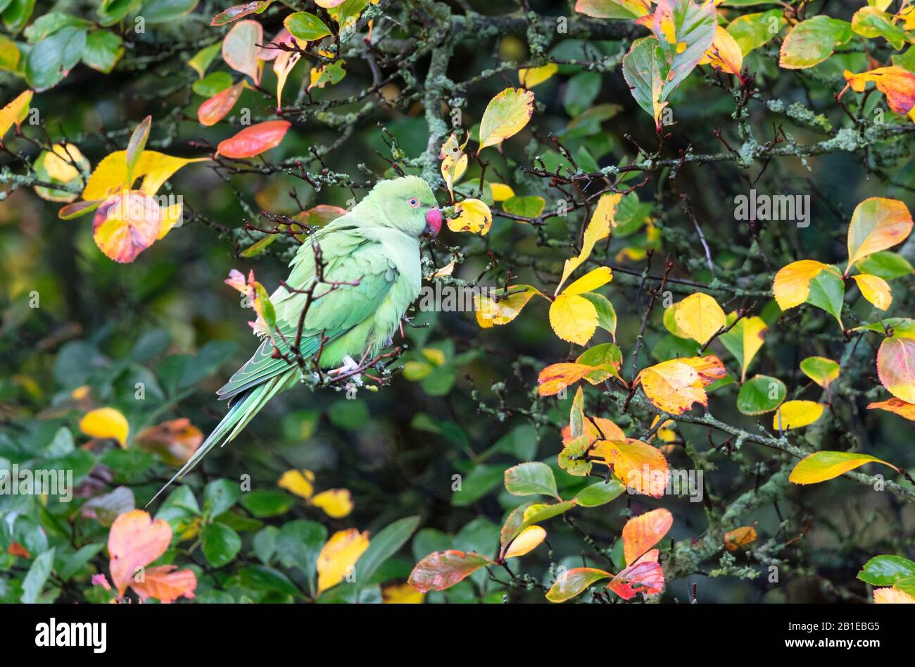 Ring-necked parakeet (Psittacula krameri) perched in atree Stock Photo