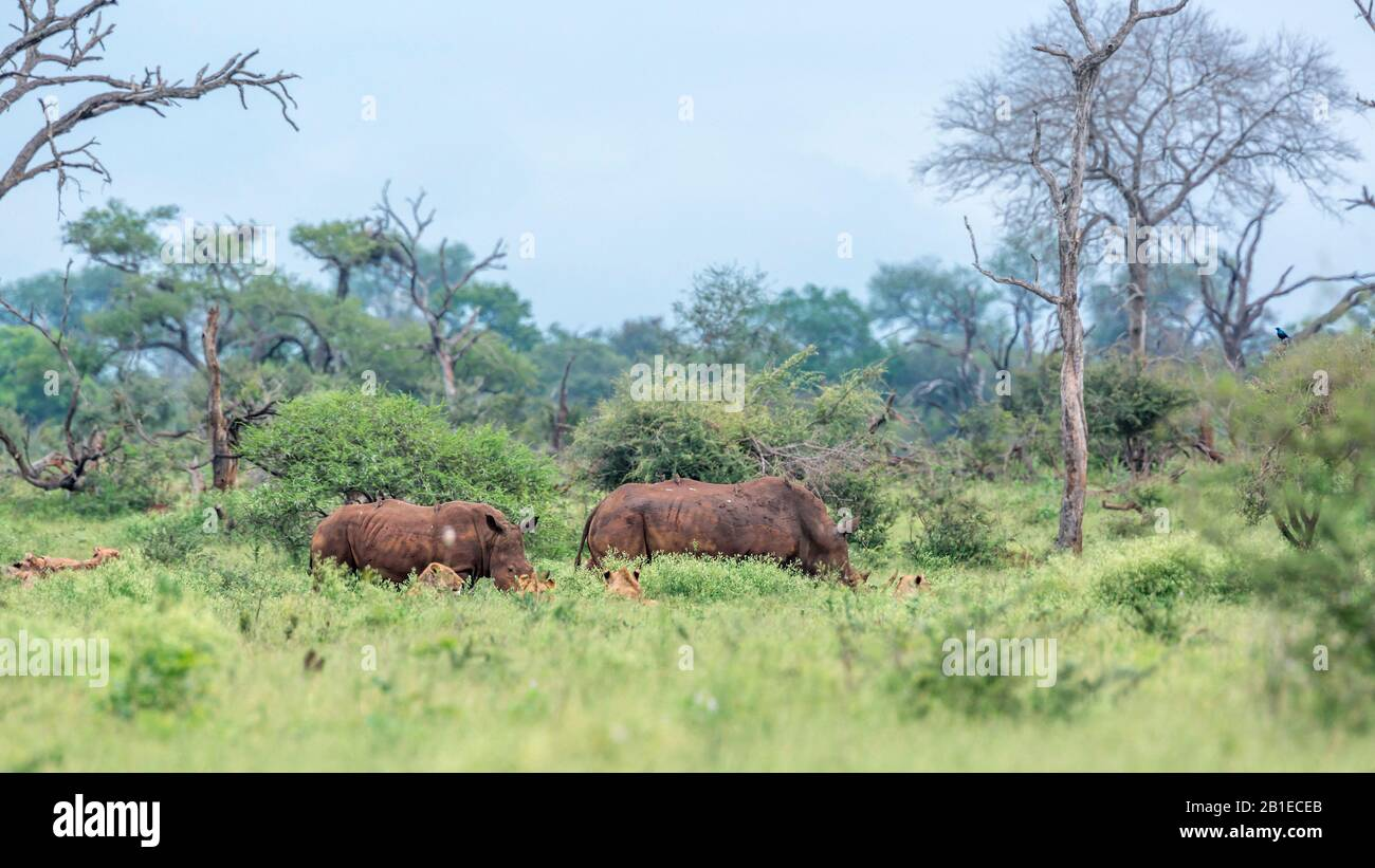 Southern white rhinoceros (Ceratotherium simum simum) encounter lions (Panthera leo) in Kruger National park, South Africa Stock Photo
