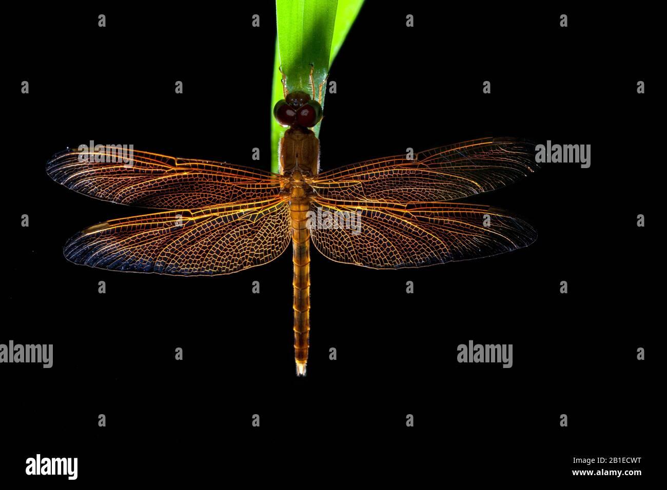 Odonata ; Backlit dragonfly ; Backlit portrait of a sleeping dragonfly ; Singapore Stock Photo