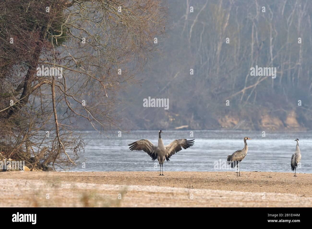Common Crane (Grus grus) stretching on a sandbar of the Loire, France Stock Photo