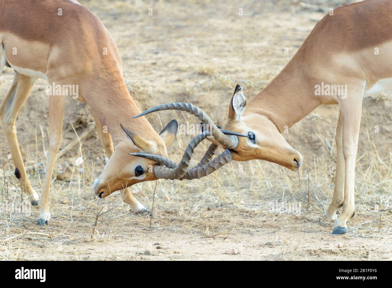 Impala (Aepyceros melampus), adult bucks fighting, Kruger National Park, South Africa, Stock Photo