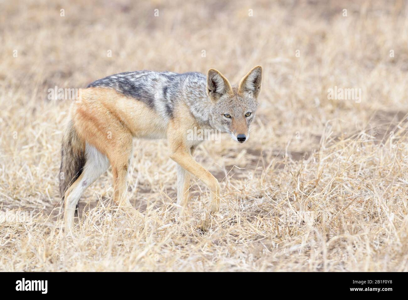 Black-backed Jackal (Canis mesomelas) standing on savanna, looking at camera, Kruger National Park, South Africa. Stock Photo