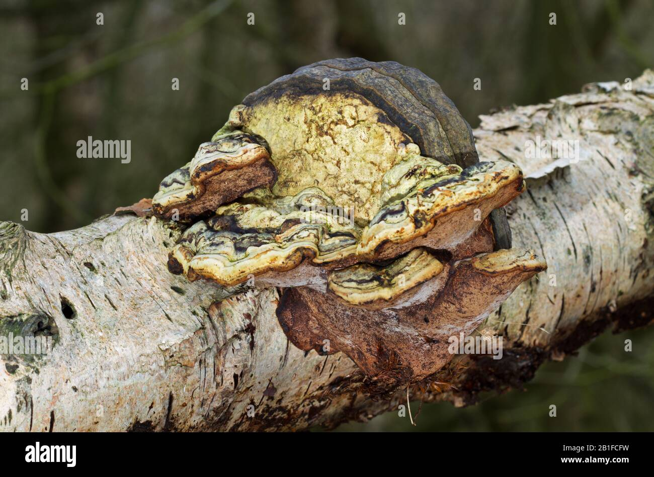 Strangely deformed Beeswax bracket fungus growing on the rotting stem of a Birch tree Stock Photo
