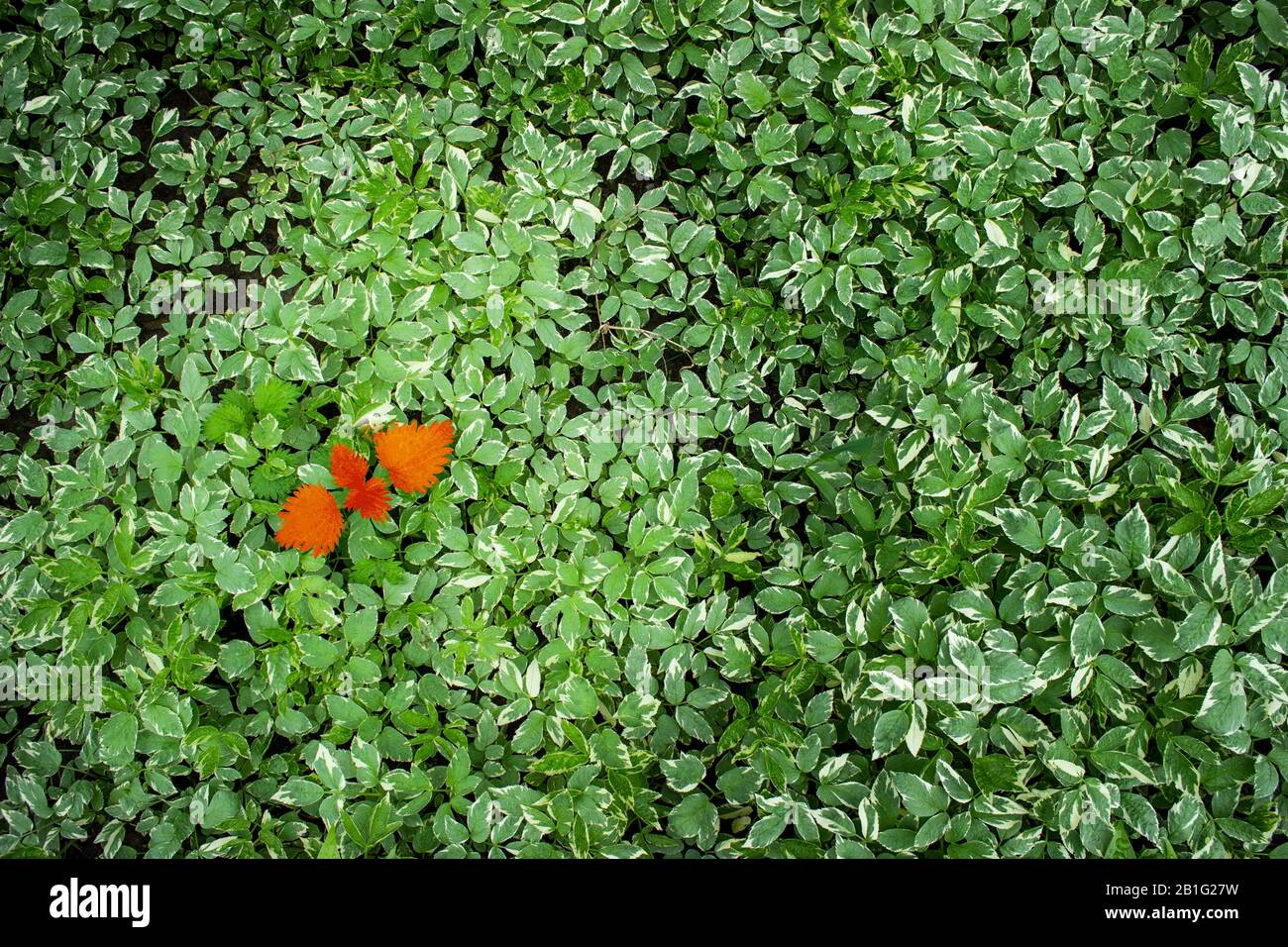 Conception for business  - lidership or diversity, inclusion, adoptation in a team, challenge. Red leaf on the green leaves background. Stock Photo